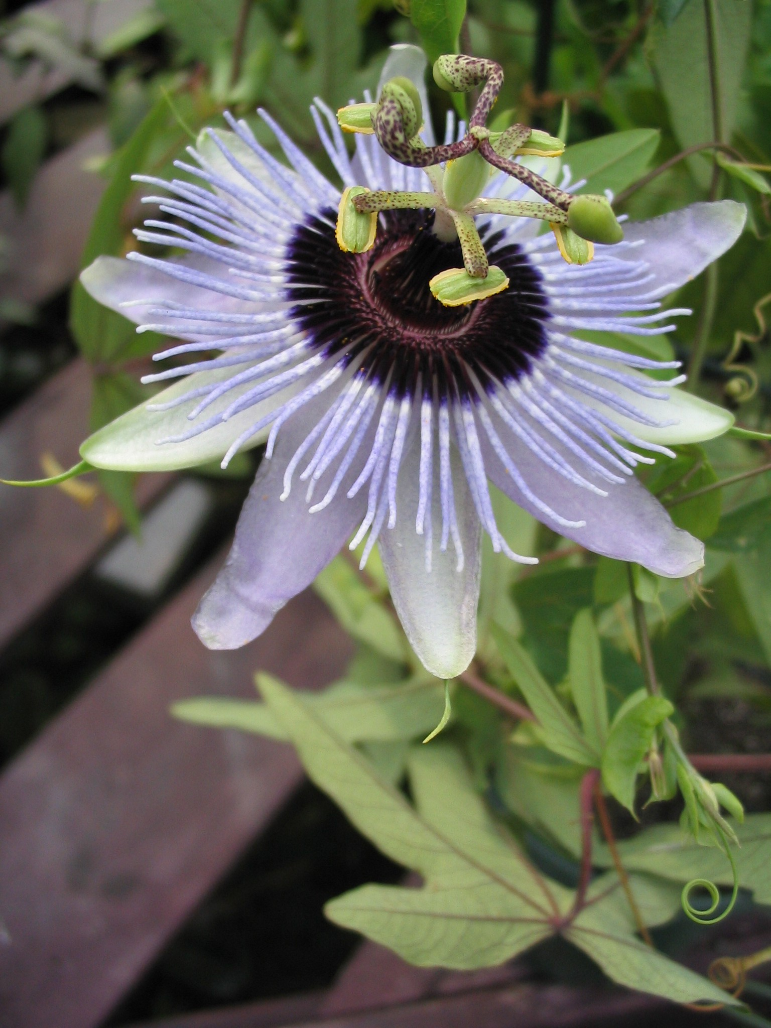 Passiflora Blue Bouquet